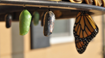 butterfly-cocoon-vishwas-mudagal